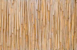 Dry cane. Royalty Free Stock Photo