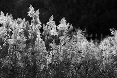 Dry cane, bw Stock Images