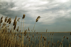 Dry cane on the lake shore Royalty Free Stock Image