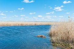 Dry cane on the river bank in spring day Stock Photography