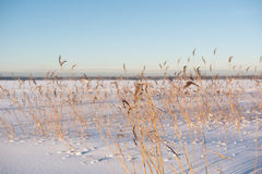 DRY CANE ON SNOWY FIELD Royalty Free Stock Image
