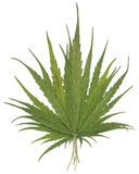 Dry Cannabis leaves Royalty Free Stock Image