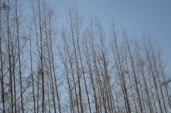 Dry casuarina equisetifolia tree Stock Images