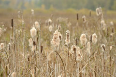 Dry Cattail (Bulrush) Spikes with Fluff Stock Image