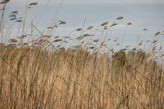 Dry cattail swing in wind Stock Photos
