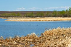 Dry cattails in a marsh Stock Photo