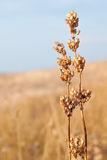Dry cereal crop Royalty Free Stock Photo