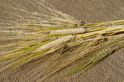 Dry cereals barley. The ears of barley on the burlap royalty free stock photos