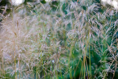 Dry cereals plants. Yellow dry cereals plants on an agricultural field royalty free stock photos