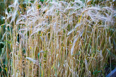 Dry cereals plants. Yellow dry cereals plants on an agricultural field stock photos