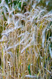 Dry cereals plants. Yellow dry cereals plants on an agricultural field stock photo