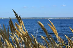 Dry cereals in windy day on the background of blue river and sky.  royalty free stock images