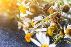 Dry Chamomile flowers Stock Photos