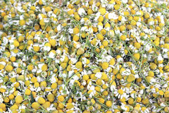 Dry chamomile plant Royalty Free Stock Photography