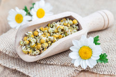 Dry chamomile tea in wooden scoop, fresh chamomile flowers on background Royalty Free Stock Photography