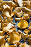 Dry Chanterelles Stock Images