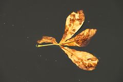 Dry chestnut leaf flow on dark and mirror water level. Stains on leaf. Stock Image