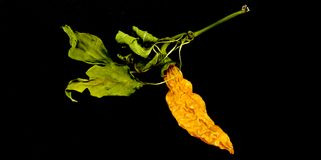 Dry chili pepper isolated. Dried vegetable. Royalty Free Stock Photography