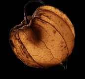 Dry chinese lantern Royalty Free Stock Photography