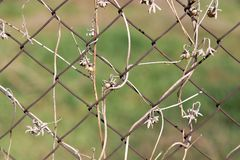 Dry climber on a metal fence as a backdrop.  Stock Photography