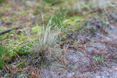 Dry clumps of grass growing by the forest road. Forest undergrow stock photography