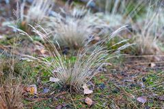 Dry clumps of grass growing by the forest road. Forest undergrow stock image