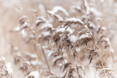 Dry coastal reed cowered with snow Royalty Free Stock Images