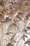 Dry coastal reed with snow Stock Photography