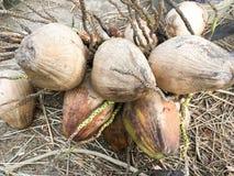 Dry coconut fruit Stock Image