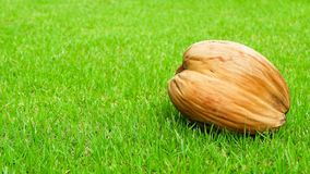Dry coconut on green grass background royalty free stock photos