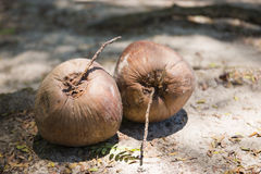 Dry coconut on ground Royalty Free Stock Image