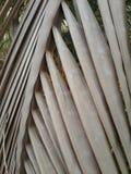Dry coconut leaf Stock Photo