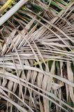 Dry coconut leaves Stock Photography