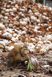 Dry coconut and monkey. In sun light Stock Photography