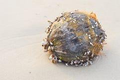 Dry coconut Stock Image