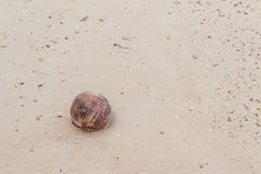 Dry coconut on seashore. When low tide Stock Image