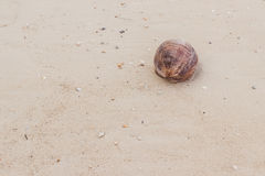 Dry coconut on seashore. When low tide Royalty Free Stock Photo