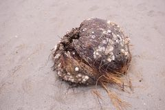 Dry coconut shell on the beach Stock Image