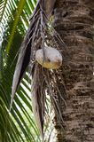 Dry coconut on the tree Royalty Free Stock Photos