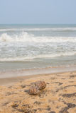Dry coconuts on beach with frothy waves Royalty Free Stock Photos