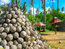 Dry coconuts for produce coconut milk Stock Image