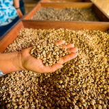 Dry coffee beans in farmer hand. At plantation Royalty Free Stock Photos