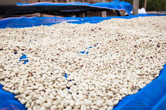 Dry Coffee Beans Royalty Free Stock Image