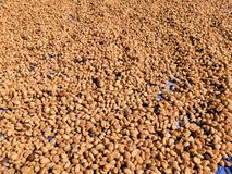 Dry coffee beans. royalty free stock photo