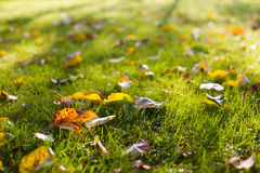 Dry colorful apple tree leaves on autumn grass with sun shining Royalty Free Stock Image