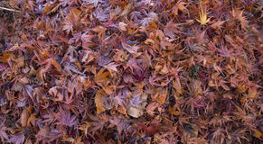 Dry colorful Autumn maple leafs texture Royalty Free Stock Photography