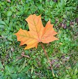 Dry colorful leaf on grass, natural background, garden beauty Royalty Free Stock Image