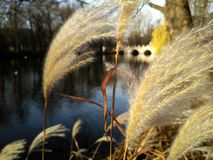 Dry common reed closeup. A lake and a bridge in the background stock images