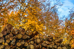 Dry conifer firewood in autumn forest. Yellow dry chopped conifer firewood logs on autumn forest background stock images