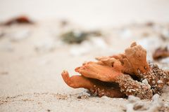 Dry coral parts at beach Royalty Free Stock Image